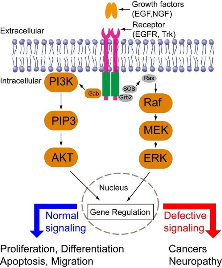 Image of ERK pathway