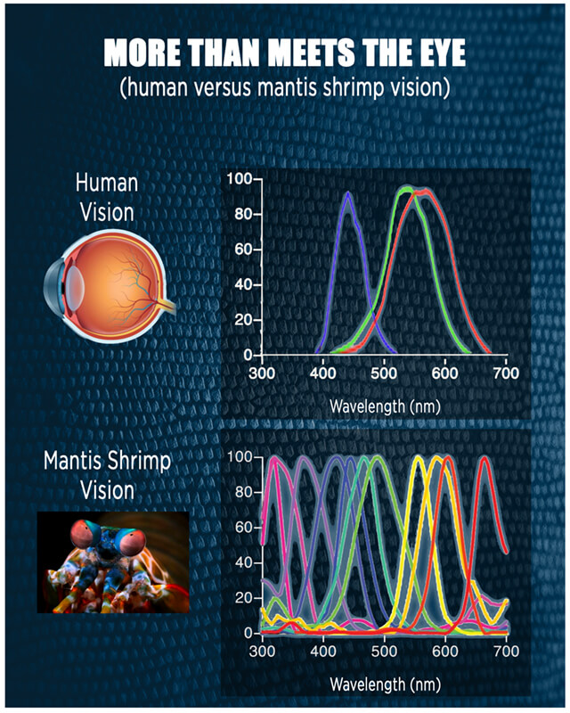 While the human eye perceives three colors – red, green and blue – the mantis shrimp perceives upward of 12 colors thanks to the stacks of light-sensitive cells at the tip of its eye.